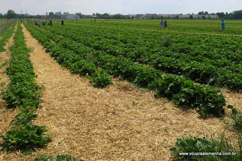 Plantação onde é possível colher morangos em Munique